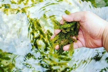 Menguntai potensi lawi-lawi, si rumput laut serupa anggur
